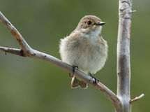 European pied flycatcher, female Stock Images