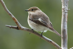 European pied flycatcher, female Royalty Free Stock Images