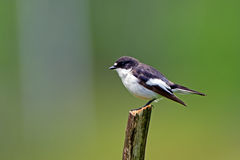 European Pied Flycatcher (Ficedula hypoleuca), ad male. The male European Pied Flycatcher (Ficedula hypoleuca) ready to catch a fly royalty free stock photos