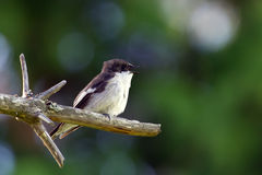European Pied Flycatcher (Ficedula hypoleuca), ad male. The singing male European Pied Flycatcher (Ficedula hypoleuca) ready to catch a fly royalty free stock photography