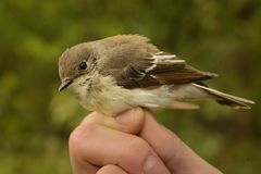 European Pied Flycatcher - Ficedula hypoleuca - female. Caught for ornitology research Stock Image