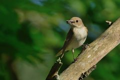 European Pied Flycatcher - Ficedula hypoleuca - female Royalty Free Stock Photography