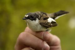 European Pied Flycatcher - Ficedula hypoleuca male. Caught for ornitology research Stock Photos