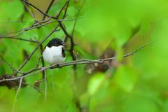 European Pied Flycatcher - Ficedula hypoleuca male. Sitting in the middle of the green forest Royalty Free Stock Image