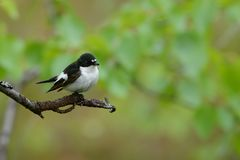 European Pied Flycatcher - Ficedula hypoleuca male. Sitting in the middle of the green forest Stock Image