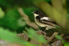 European Pied Flycatcher - Ficedula hypoleuca male. Sitting in the middle of the green forest Royalty Free Stock Photos
