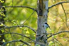 European pied flycatcher Stock Photo