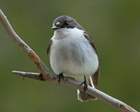 European pied flycatcher, male. Stock Images