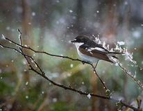 European pied flycatcher in snow Royalty Free Stock Photos