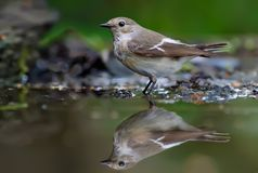European pied flycatcher stands in forest water pond stock images