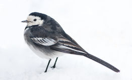 European Pied Wagtail Profile View in Winter Snow Stock Image