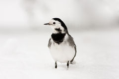 European Pied Wagtail in Winter Snow Stock Photo