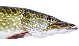 European pike portrait Royalty Free Stock Photography