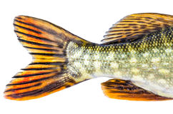European pike tale Royalty Free Stock Photography