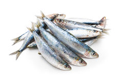 European pilchard Royalty Free Stock Image
