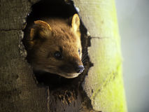 European Pine Marten. In his tree cave Royalty Free Stock Photo