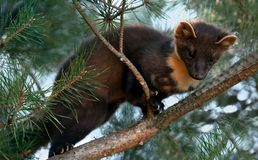 The European pine marten (Martes martes), known most commonly as the pine marten in Anglophone Europe, and less commonly also. Known as pineten, baum marten, or royalty free stock photo