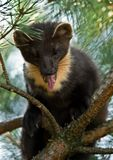 The European pine marten (Martes martes), known most commonly as the pine marten in Anglophone Europe, and less commonly also royalty free stock images