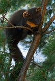 The European pine marten (Martes martes), known most commonly as the pine marten in Anglophone Europe, and less commonly also royalty free stock photo