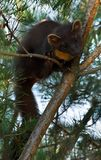 The European pine marten (Martes martes), known most commonly as the pine marten in Anglophone Europe, and less commonly also stock images