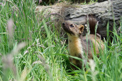 European Pine Marten (Martes Martes) Royalty Free Stock Image