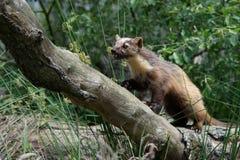 European Pine Marten (Martes Martes) Stock Photos