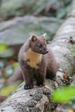 European Pine Marten Martes martes. On the trunk of birch Stock Photography
