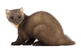 European Pine Marten or pine marten. Martes martes, 4 years old, sitting against white background Royalty Free Stock Photos