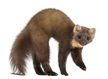 European Pine Marten or pine marten. Martes martes, 4 years old, standing against white background Royalty Free Stock Photos
