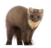 European Pine Marten or pine marten. Martes martes, 4 years old, standing against white background Stock Image