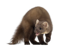 European Pine Marten or pine marten Stock Photos