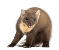 European Pine Marten or pine marten Royalty Free Stock Image