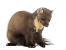 European Pine Marten or pine marten Royalty Free Stock Photography
