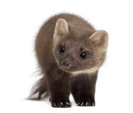 European Pine Marten or pine marten Stock Photography
