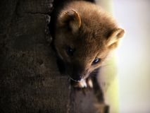 European Pine Marten in Tree Royalty Free Stock Image