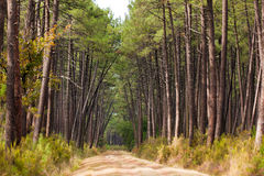 European pine tree forest. Traditional pine tree forest in Gironde, Medoc, France stock photo