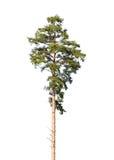 European pine tree isolated on white Stock Photos