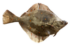 European plaice Royalty Free Stock Photo
