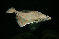 European plaice fish Stock Photography
