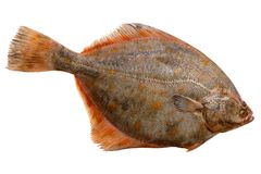 European plaice royalty free stock images