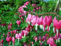 Bleeding Heart Royalty Free Stock Photography