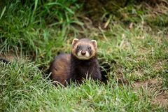 An European polecat emerges from its hole. The European polecat – also known as the common ferret, black or forest polecat, or fitch – is a species stock photos