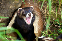 European Polecat Stock Photos