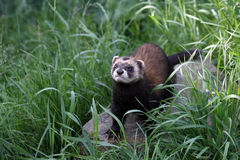 European Polecat. On a rock and surrounded by long grass royalty free stock images