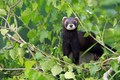 European Polecat Royalty Free Stock Photos