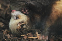 European polecat Stock Images