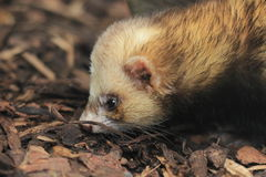 European polecat Royalty Free Stock Photo