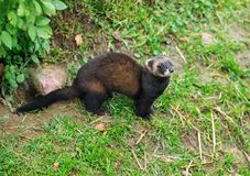 The European polecat looking up to the sky. The European polecat — also known as the common ferret, black or forest polecat, or fitch — is a royalty free stock image