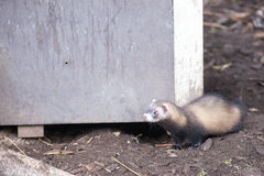 European polecat. Mustela putorius in front of a wooden box stock images