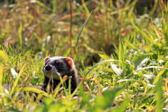 European polecat / Mustela putorius hidden in high Stock Images